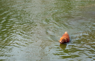 golden retriever dog on background