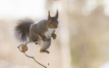red squirrel is jumping on a nutcracker