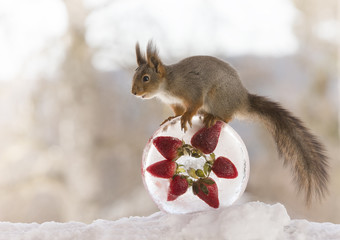red squirrel standing on ice with strawberries