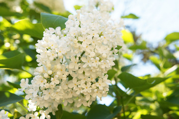 Photo sur Toile Lilac Ivory silk japanese tree lilac or syringa reticulata white flowers