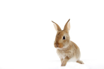 young domestic bunny, rabbit isolated on white background.