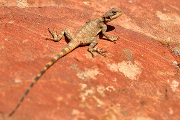 An Agama lizard in Petra, Jordan, Middle East