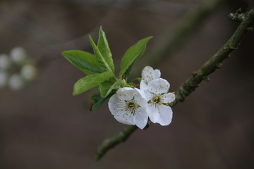 Flowers of the prunus-spinosa tree (blackthorn) in Moordrecht, the Netherlands