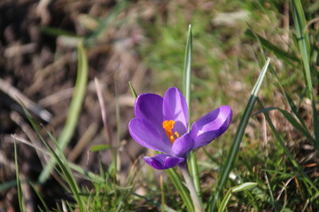 Purple crocus in a field during spring 2018 in Moordrecht, the Netherlands