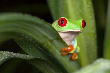 Red-eyed tree frog hiding behind the leaf