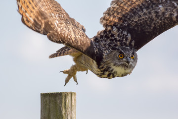 European eagle owl taking off to flight. Bird of prey hunting.