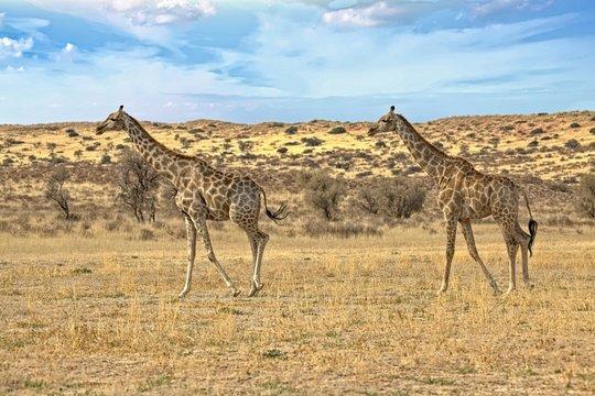 Giraffen im Kgalagadi Transfrontier Park