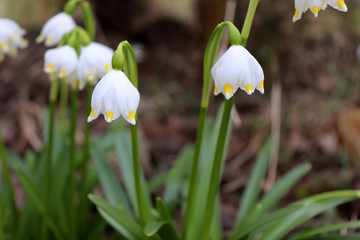 Nature background.Beautiful leucojum vernum flowers on the first spring day. This flower indicates that spring season is coming. It is typical for this time of the year. Blurred background.