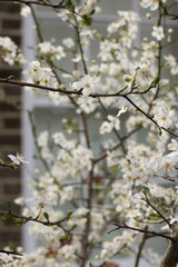 Cherry tree blooms in spring with white color against the background of a window and a brick wall of a house. English lifestyle. Vertical image.