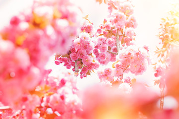 Spring background with flowering Japanese oriental cherry sakura blossom, pink buds with soft sunlight, soft focus