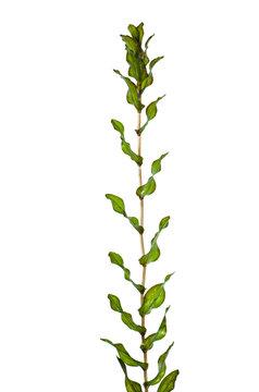 Canadian pondweed
