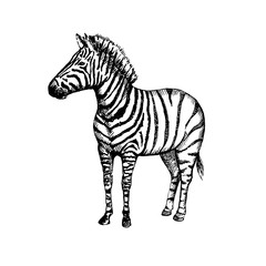Hand drawn zebra. Sketch, vector illustration.