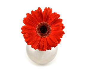 Red gerbera flower stock images. Red gerbera flower on a white background. Red gerbera in silver vase. Beautiful red gerbera daisy