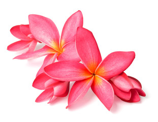 fresh red frangipani flowers isolated on white
