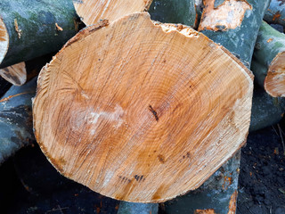close-up texture of hornbeam tree. round tree rings background