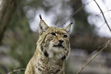 Aluminium Prints Lynx The Eurasian lynx