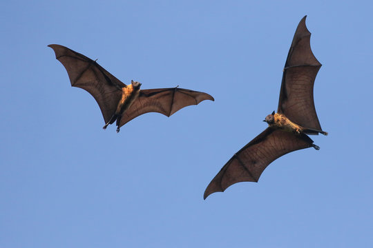 Two Giant Indian flying fox bats on the fly,  Pteropus  giganteus