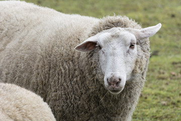 Sheep in the pasture.