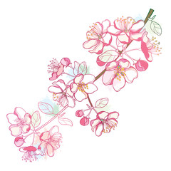 Vector branch with outline blossoming Apple flower bunch and foliage in pastel pink color isolated on white background. Ornate blossom Apple flowers and leaves in contour style for spring design.
