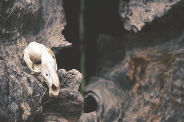 Kangaroo skull on dead tree in front of tree hollow. Moody, dark, pagan and animal totem concepts.