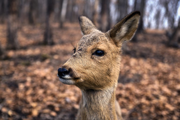 Roe deer close up portrait in the forest in spring season