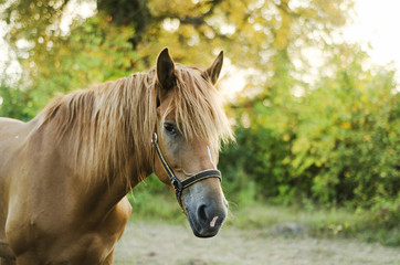 beautiful brown horse shaggy in the forest sunset