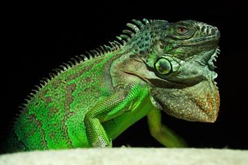 Grüner Leguan IV