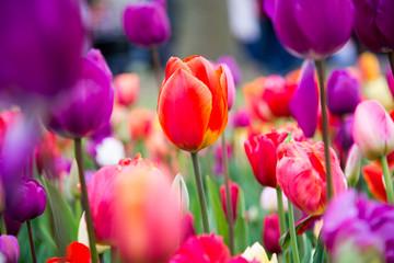 Foto op Plexiglas Tulp Colorful tulips in the park. Spring landscape