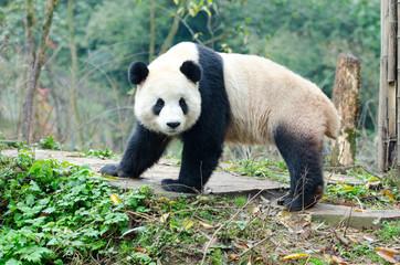 A single Giant Panda Look Back Pose, Chengdu, Szechuan, China.  Face has slight motion blur.