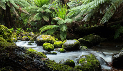 Fotorolgordijn Jungle Cascades of a rainforest stream with large overhanging ferns and mossy rocks and logs in the wilderness of Tasmania Australia.