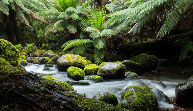 Cascades of a rainforest stream with large overhanging ferns and mossy rocks and logs in the wilderness of Tasmania Australia.