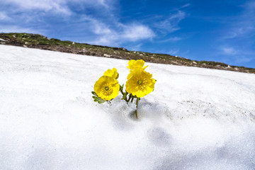 The vivid yellow flower in the snow, Xinjiang of China