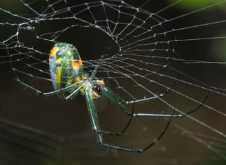 Tiny Venusta Orchard Spider Hanging From It's Web