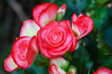 Pattern of beautiful natural  begonia flowers