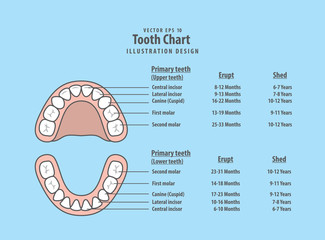 Tooth Chart Primary teeth with erupt & shed illustration vector on blue background. Dental concept.
