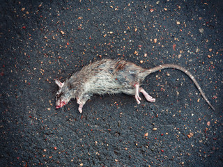 Dead rat on the asphalt in the neighborhood of people's housing where the toxic poison was planted from rodents. rats spread plague and other infections - Rat Extermination