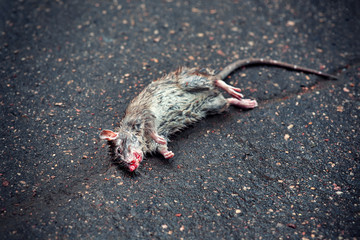 Dead rat on the asphalt in the neighborhood of people's housing where the toxic poison was planted from rodents . Infectious Diseases of Mice and Rats. Get Rid of Rats