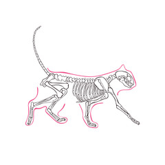 Cat's skeleton. Isolated vector object on white background.
