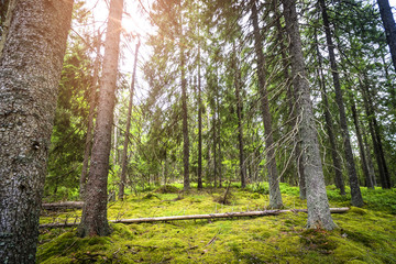 Pine forest with green moss and sunshine