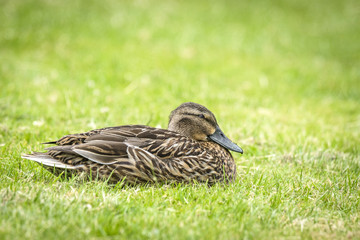 Female duck relaxing in the fresh green grass