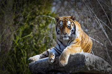 the tiger lies on the rock