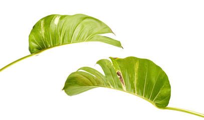 Devil's ivy, Golden pothos, Epipremnum aureum, Heart shaped leaves vine with large leaves isolated on white background, with clipping path Fototapete