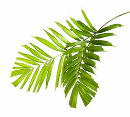 Macarthur palm leaves or (Ptychosperma macarthurii), Tropical foliage isolated on white background with clipping path