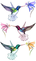 Beautiful colorful hummingbirds drink flower nectar. Isolated on white background. Collection of exotic tropical birds with vivid feathering. Watecolor painting. Hand painted.