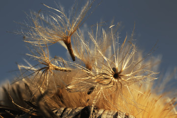 Carlina acaulis - seeds and seed head of a silver thistle beginning to fly in the setting sun