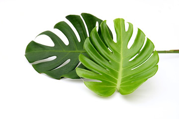 Tropical jungle Monstera leaves isolated, Swiss Cheese Plant, isolated on white background,,with clipping path,dicut