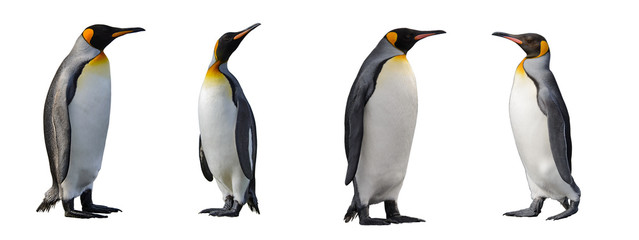 Foto op Canvas Pinguin King penguins isolated on white background