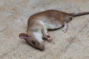 Dead brown rat on cement floor