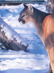 Puma at the snow dangerous close-up