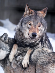 Grey wolf at the snow close up